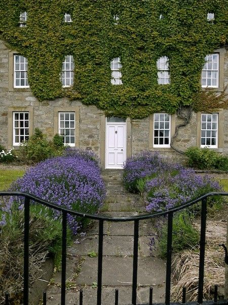Lavender lined front door and garden