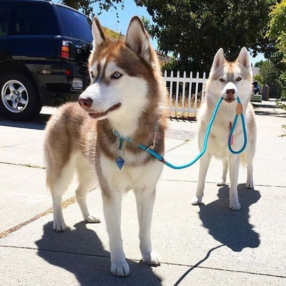 When you teach your dog how to walk you other dog  Owner: @lilothehusky  Tag #huskyphotography for a chance to be featured! ❤️