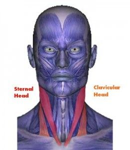 The sternocleidomastoid muscle has two heads. One head connects to the collar bone and the other connects to the sternum.