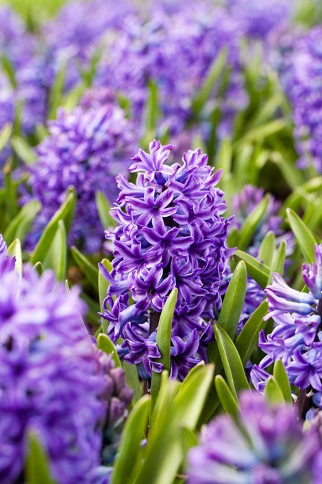Hyacinths Growing And Care Of Hyacinth Flowers In 2020 With Images Flower Garden Design Hyacinth Flowers Purple Flowers Garden