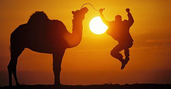 Desert Shade camel walks