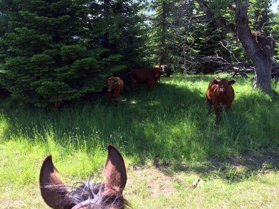 Cows spotted on a trail ride with Western Pleasure Guest Ranch,in Idaho's scenic Panhandle region.