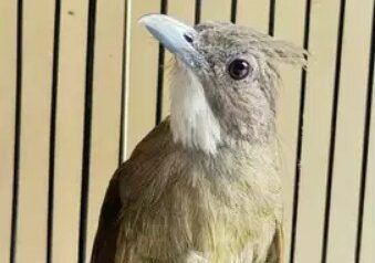 Suhukicau Com Sebelum Popularitasnya Yang Menanjak Burung Cucak Jenggot Medan Ini Sangat Jarang Sekali Diperhitungkan Untuk Dirawat S Jenggot Burung Habitat