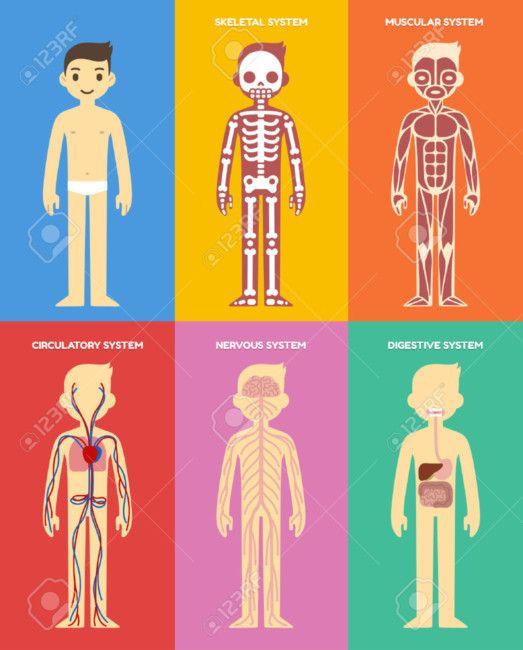 Sistemas Del Cuerpo Humano Para Ninos 80 Imagenes E Informacion