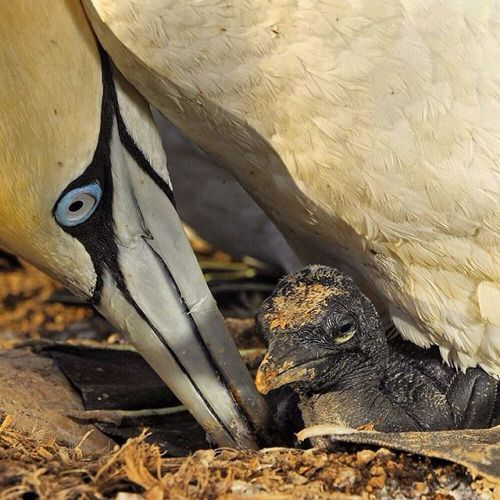 This recently hatched Cape Gannet chick is completely reliant on...