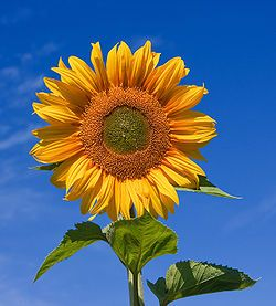 Sunflowers can be used to extract toxic ingredients from soil, such as lead, arsenic and uranium. They were used to remove cesium-137 and strontium-90 from a nearby pond after the Chernobyl disaster,[14] and a similar campaign was mounted in response to the Fukushima Daiichi nuclear disaster.[15][16] (see phytoremediation)