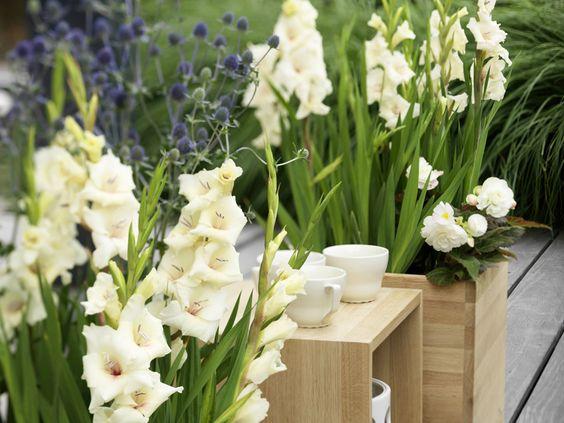 Gartenzauber   Gladiole (Gladiolus) - Gartenzauber