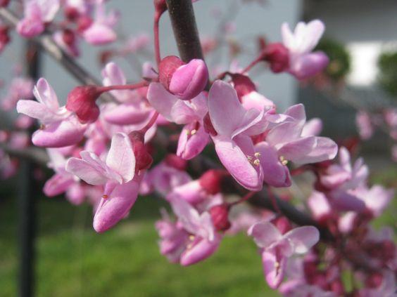 Cercis canadensis Forest Pansy  Rotblättriger Judasbaum