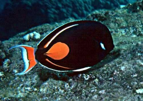 Marine fish pictures and names the achilles tang is for Ocean fish names