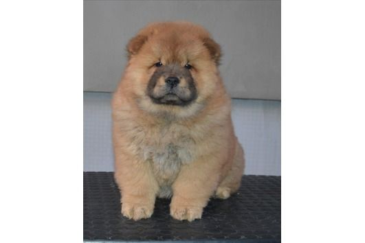 Chow Chow Kaufen Oder Inserieren Bei Deinetierwelt Chow Chow Dog Price Range How Much Does A Chow Chow Cos In 2020 Chow Puppies For Sale Puppy Adoption Chow Chow Dogs