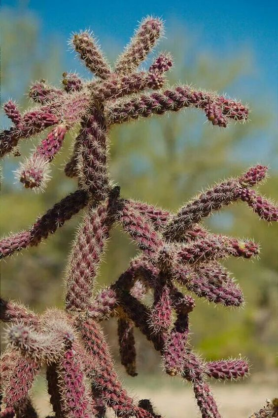 Cholla cactus......Edw. Ceremet...2014 These grow wild in Arizona