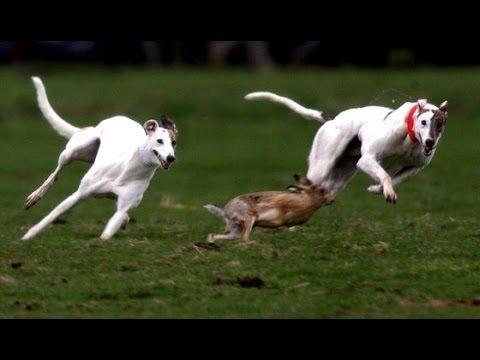 Los 7 Más Veloces, Los Perros de Carrera