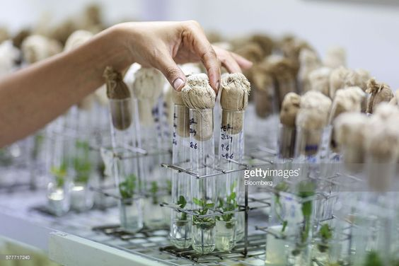 A scientist arranges test tubes containing shoots regenerated from the cotyledon of peanuts inside the tissue culture facility in the Platform for Translational Research on Transgenic Crops (PTTC) department of the International Crops Research Institute for the Semi-Arid Tropics (ICRISAT) in Patancheru, Telengana, India, on Friday, July 8, 2016. On a campus in southern India, a team of biologists are perfecting a recipe that may solve the nation's inflation woes. By adding a gene to the…
