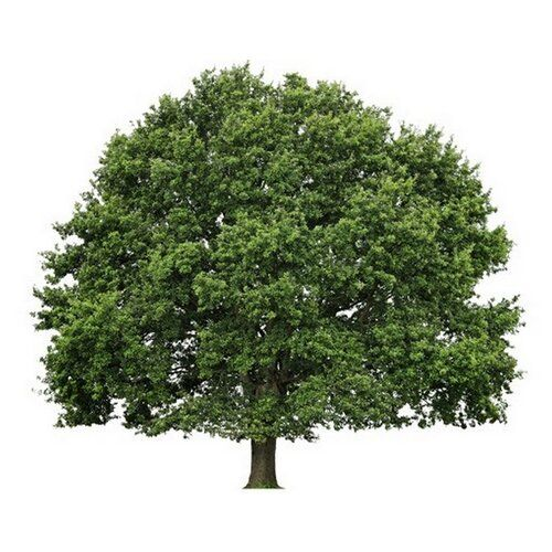 East Urban Home Wandtattoo Baum Sommerlinde Trees Top View Tree Photoshop English Oak Tree