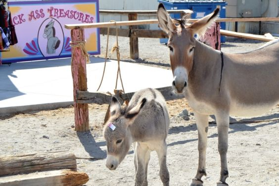 Burros roam Oatman everyday, looking for Handouts.