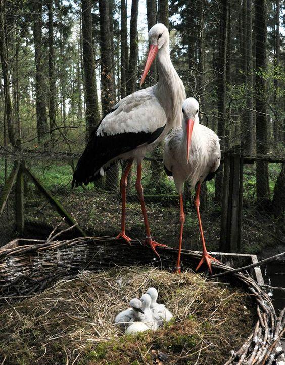 Storks, Eekholt, Germany