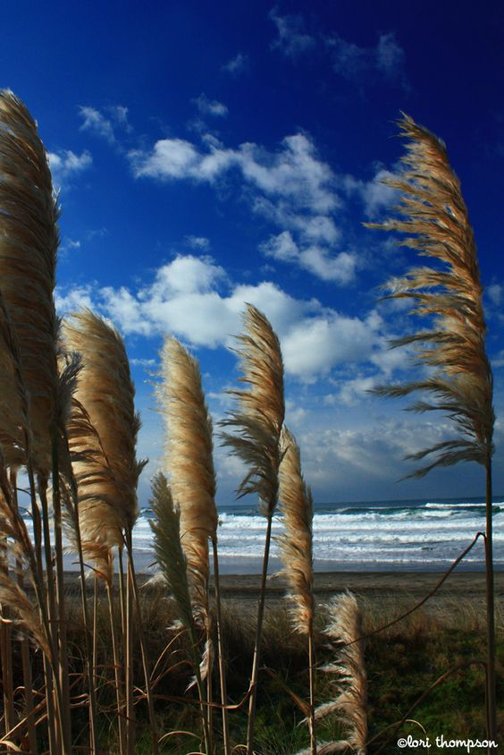 Pampas grass... Rockaway Beach, Oregon