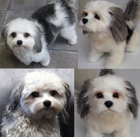 shih tzu yorkie pomeranian mix pomeranian mix shih tzu and yorkie on pinterest 6533