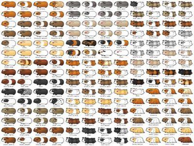 Guinea pig breeding chart google search breeding for Fish tycoon 2 breeding chart