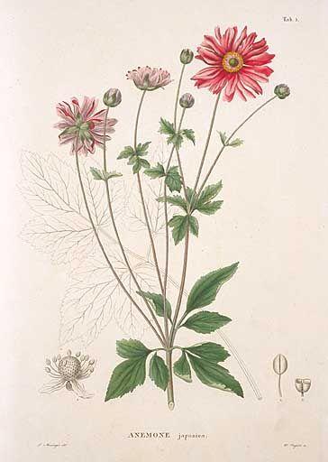 シュウメイギク, キブネギク  Anemone japonica Thunb.