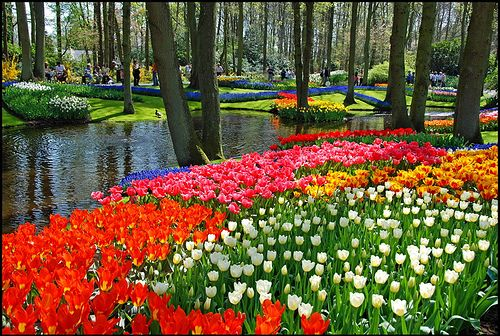 Tulips near water. Spring. ♥