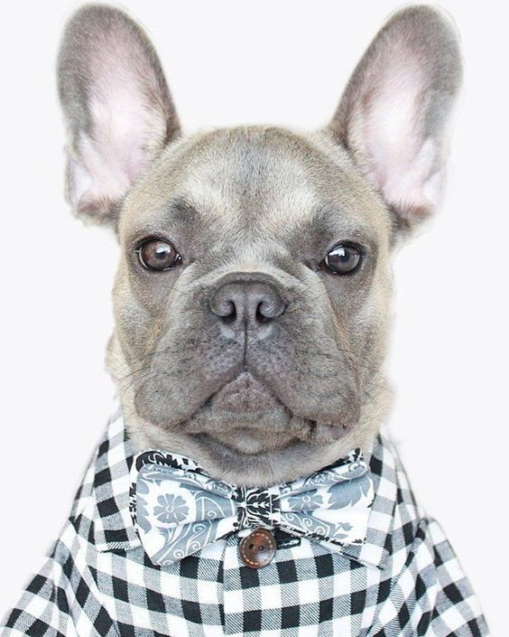 French Bulldog Playful And Smart Animales Divertidos Animales
