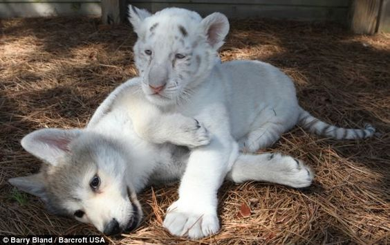 white tiger cub and wolf pup: White Tigers, Bengal Tigers, Wolf Cubs, Tiger Cubs, Baby Animals, Tigers Animals, Lion Cub, Cubs Brought