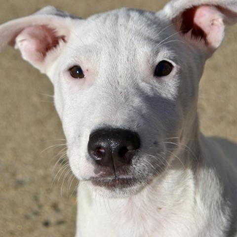 Adopt Evan On Pitbull Terrier Island Park Terrier Mix Dogs
