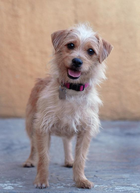 Annie, Cairn Terrier Mix & West Highland White Terrier