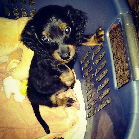 our 7 week old daschund puppy, frank<3