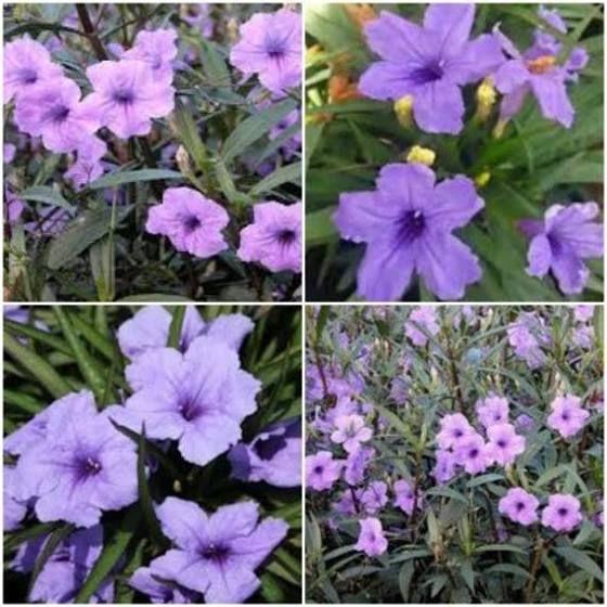 Mexican Petunia Flowering Shade Plants Plants Flowers Perennials