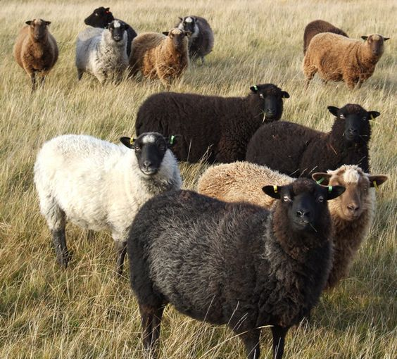 shetland sheep images - Google Search