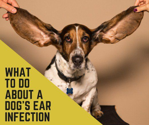 Why Does My Dog S Ear Infection Keep Coming Back Dogs Ears