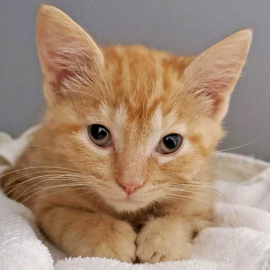 Adopt Columbia Kitten Adoption Cat Adoption Kittens Cutest