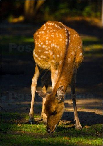 Bambi Bilder: Poster von Max Steinwald bei Posterlounge.de