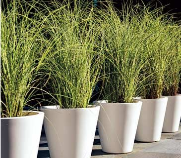 22 container gardens in bloom gardens walkways and tall for Tall ornamental grasses for pots