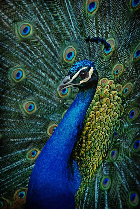 ✮ Peacock---- LOVE peacocks