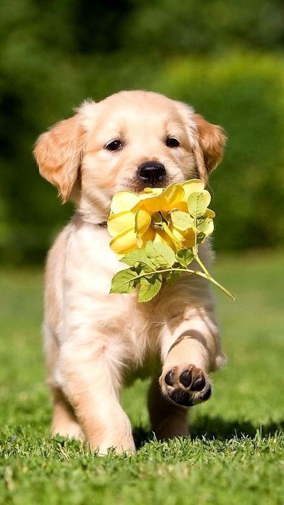 黄色い花をくわえたかわいいゴールデンレトリバーの壁紙