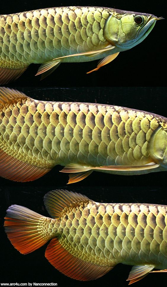 Image from for Freshwater dragon fish