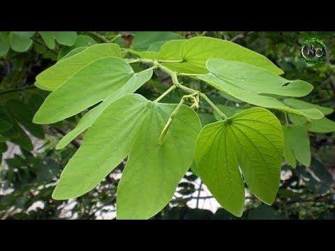 planta medicinal que sirve para la diabetes