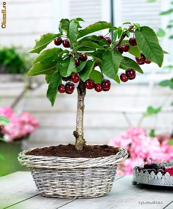 Cherry Bonsai