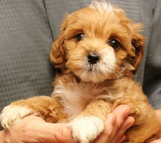 Australian Labradoodle Previous Puppies Litters