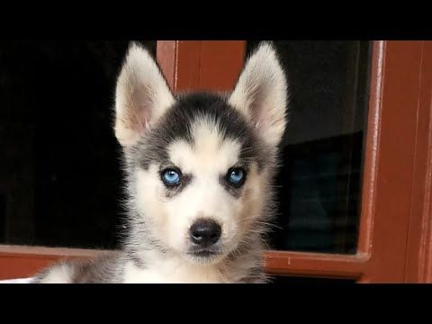 Siberian Husky Puppy 3 Months Old Fully Vaccinated For Sale In