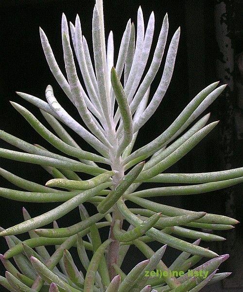 Senecio Pyramidatus Plante
