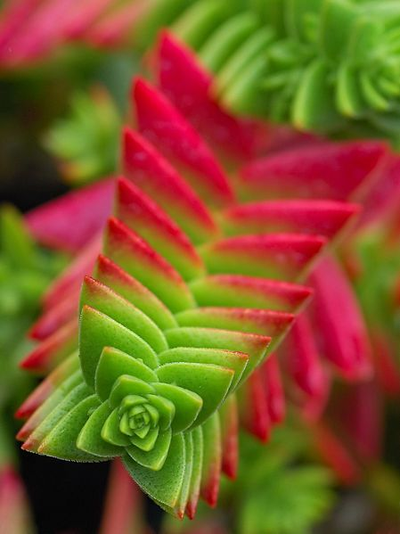 Campfire plant crassula capitella succulent in the garden a little of this and that pinterest campfires plants and gardens