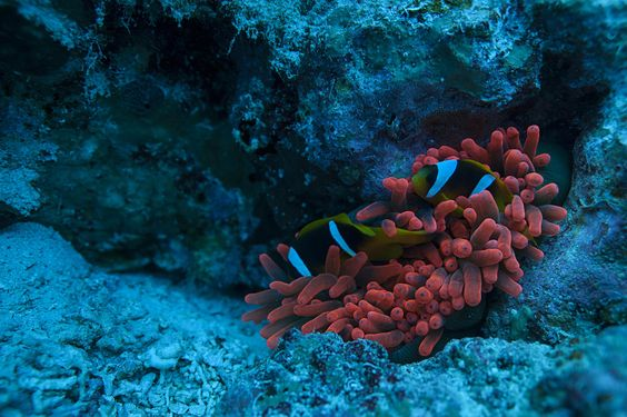Red Sea Anemone by Volkan Yenel / 500px
