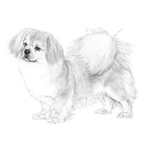 Tibetan Spaniel Dog Breed Information Tibetan Spaniel Dog Breeds Spaniel Dog