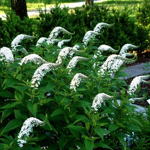Tojesc Orszelinowata Lisie Ogonki Dlugo Kwitnaca Plants Garden Gardening Tips