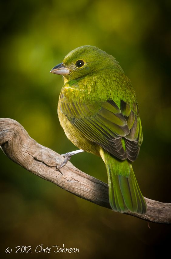 Painted Bunting - The female Painted Bunting is green above and yellowish green below.  (Length:  5 1/2 inches)