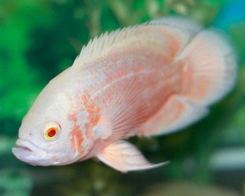 Albino Oscar Tropical Fish Colourful And Hardy Albinooscar Albino Animals Fish Albino